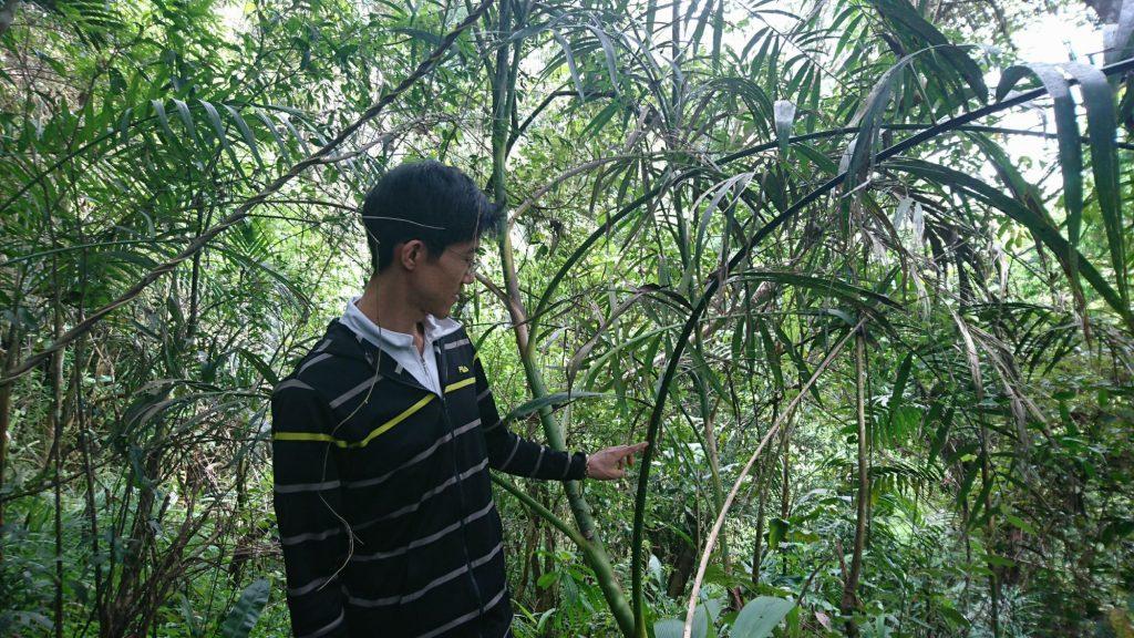 ジャングルに生息する籐